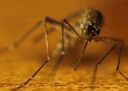 komar w dużym powiększeniu